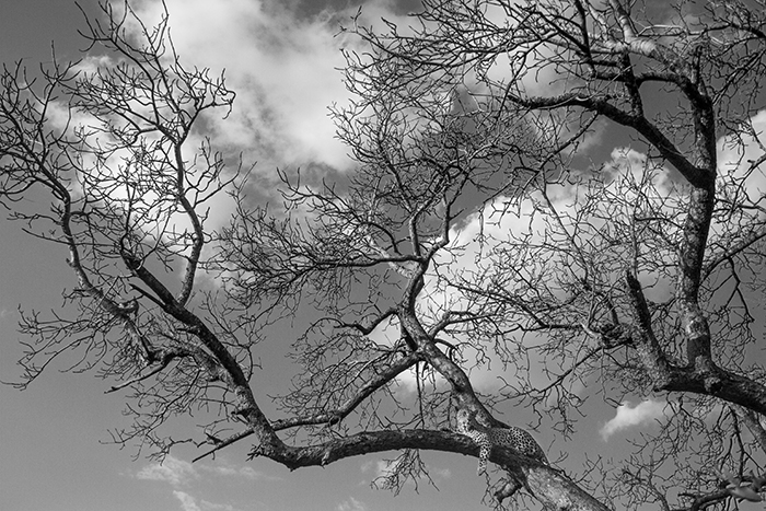 High up in the branches of a winter beaten Marula tree. Contrasts in the clouds and busy with the branches.