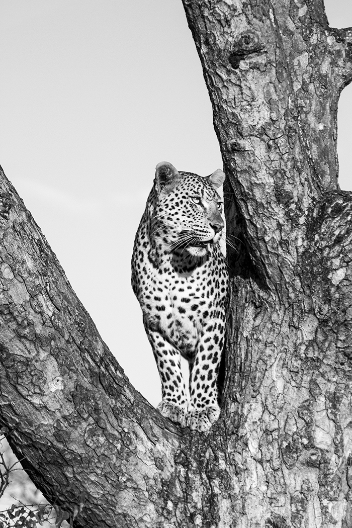 The Mashaba female in the fork of the same Marula tree.