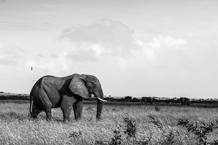 Elephant on the plains, with swallows dancing around their ears.