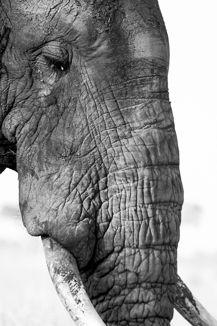 Gentle, silent and overwhelming. The African Elephant