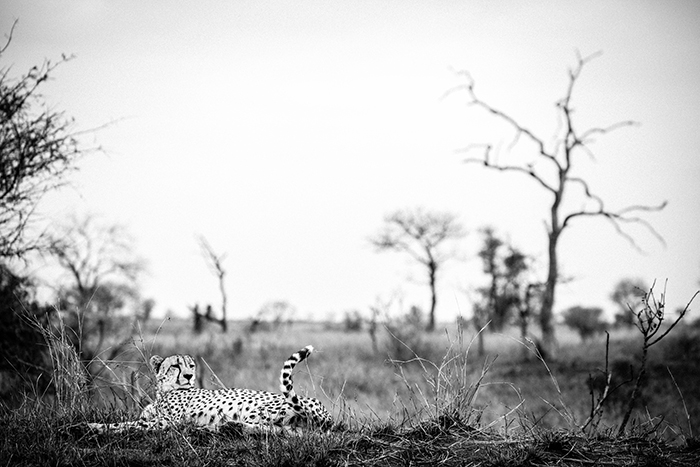 The open areas provide perfect habitat for the resident Cheetah on Londolozi. Also some great photographic opportunities with all the skeletons of dead Knobthorns ad MAaulas.