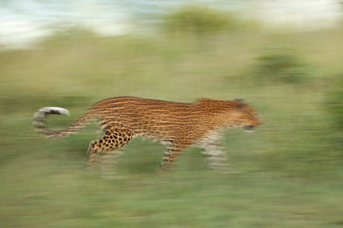 One of my favourties. Leopard in motion. This type of motion photography is Richard's passion. Rich Burman.