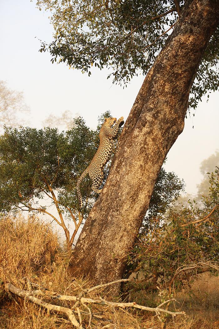 The Nanga females in full motion toward her impala kill, stashed in a large Ebony tree. Rich Burman.