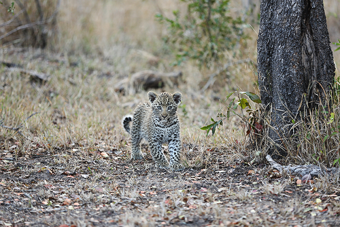 An great photograph of one of the Nanga females new cubs. Rich Burman.