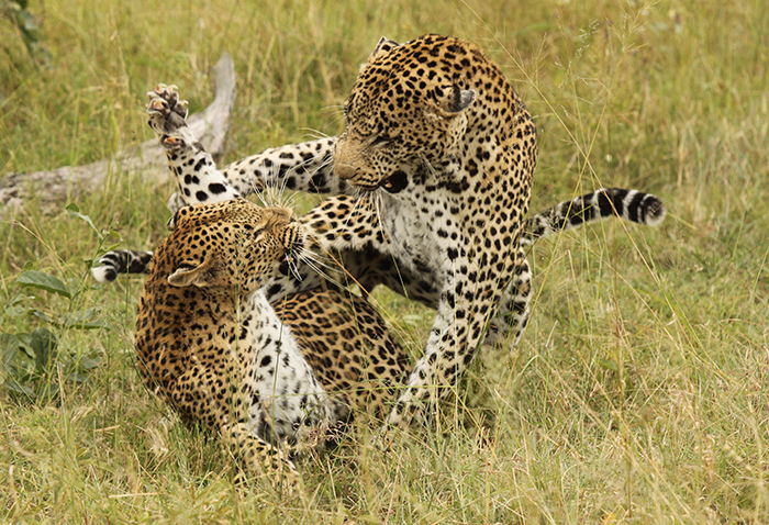 Marthly male and Tutlwa female in mating. Trevor