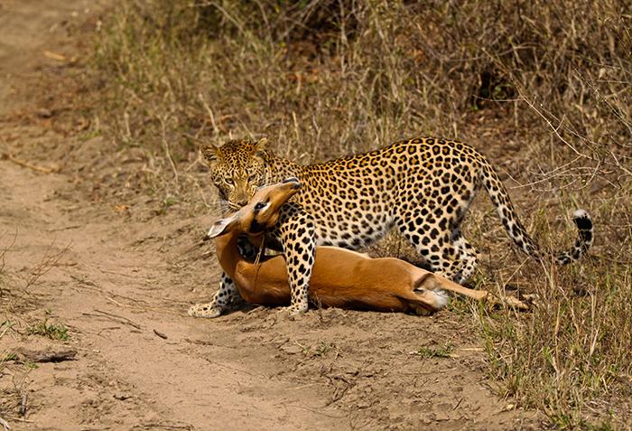 The Mashaba female on a recently killed impala. Trevor