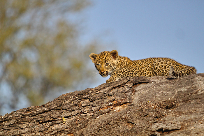 Another one of Nanga females cubs. Trevor