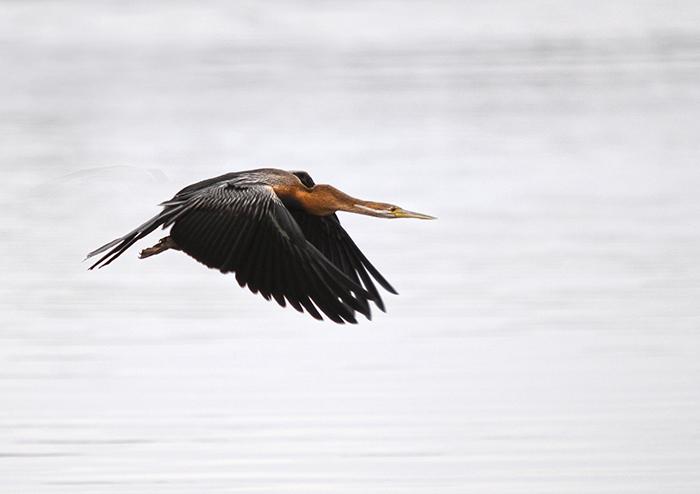 A fantastic shot of an African Darter in flight. Trevor