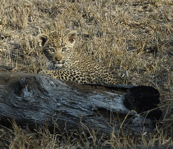 The latest addition to our Leopard population, one of the two Nanga female's cubs. Mark Nisbet.