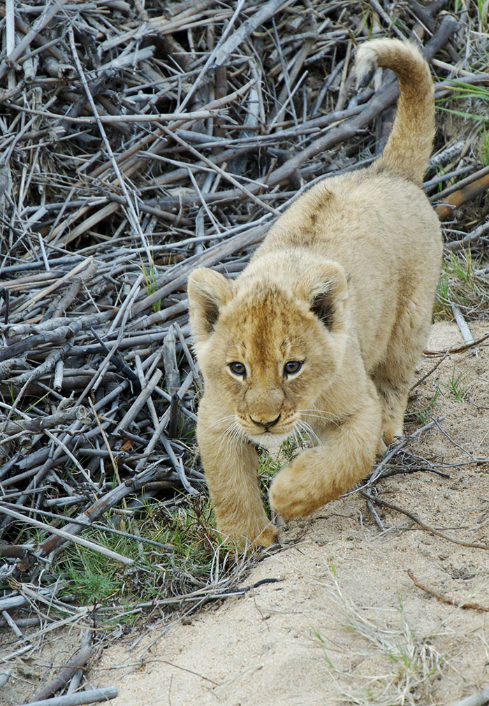 Another beautiful Lion cub. Mark Nisbet.