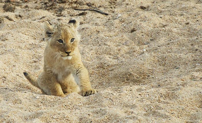 A Mhangeni pride cub in the Manyelethi river. Mark Nisbet.