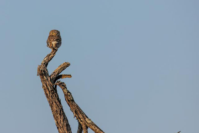 A great shot of a Pearl Spotted Owlet. Don Heyneke.