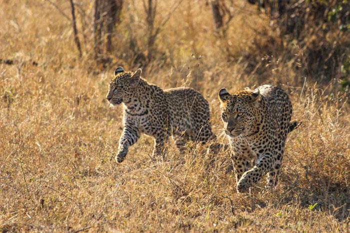 The Mashaba female and her year old cub. Don Heyneke.