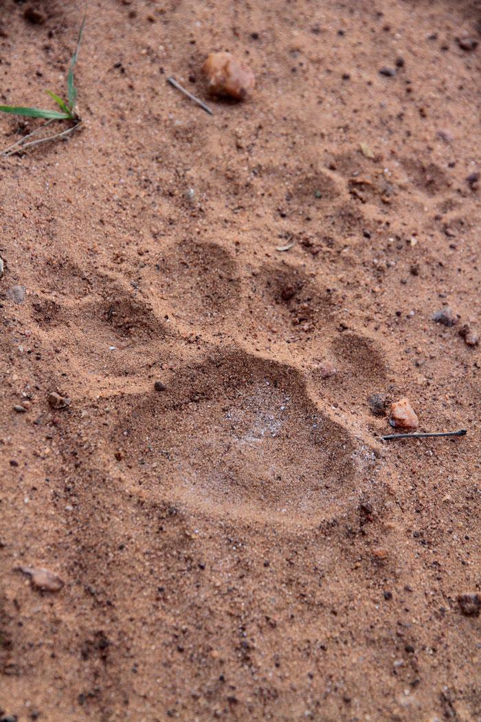 Tracks of a Male jaguar