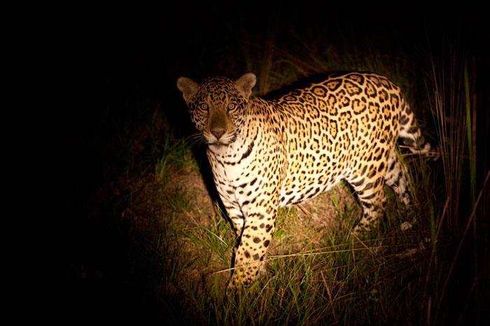 Yara, a sub adult Jaguar side on facing us at night
