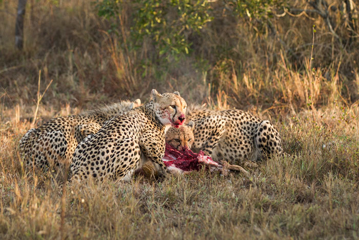 Constantly looking around for danger when feeding on a kill, the cheetahs hastily devour as much meat as they can, while they can.