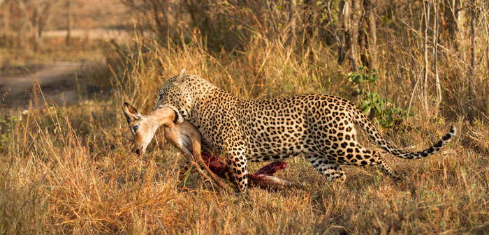 The Camp Pan male drags his prize towards the thickets.