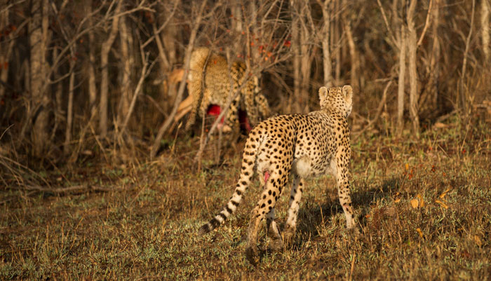 The mother cheetah trots forlornly after the leopard, watching him disappear down towards the Tugwaan drainage line.