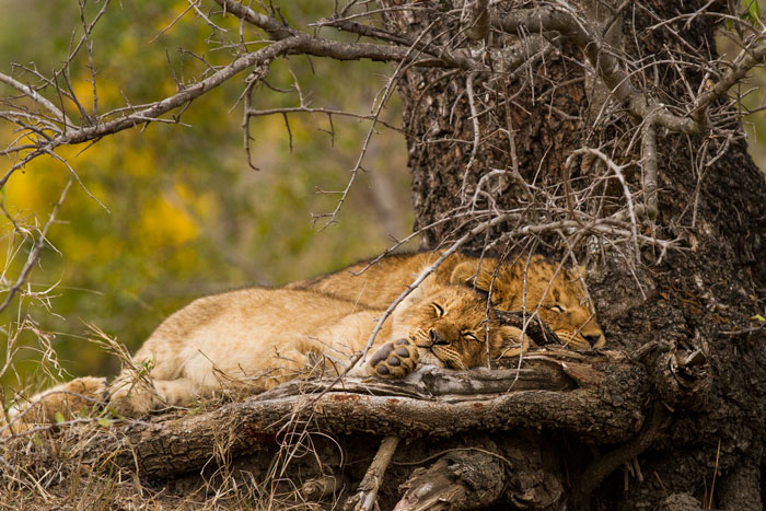 Two of the Mhangeni cubs find a comfortable spot to rest their weary heads after the excitement of their mothers returning from the hunt.