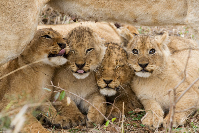 Four of the Mhangeni cubs express their displeasure at the abrubpt departure of the lioness that was nursing them.