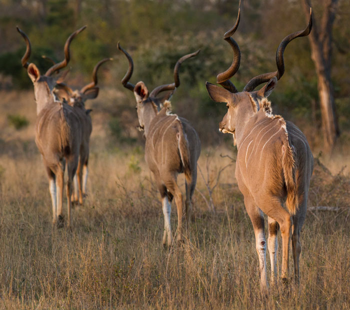 Four stately kudu bulls move across Sasekile Ingwe clearing in line astern.