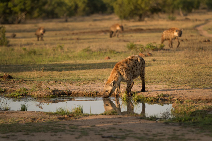 This morning had seen a clan of hyenas chasing off the Tsalala lionesses from a kill, when another rival clan arrived and full-scale battle ensued, with over 15 hyenas involved in the conflict. After it had all died down, four of the females from one of the clans headed for a dink at Nanga Pan.