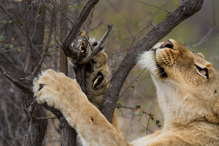 One of the Mhangeni lionesses reveals her claws as she stretches out her tendons on a Tree Wisteria.