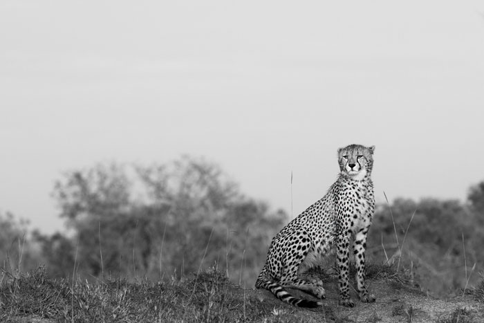 A typical cheetah shot, which we are so fortunate to be able to capture at the moment, with the four resident animals still being found on a regular basis.