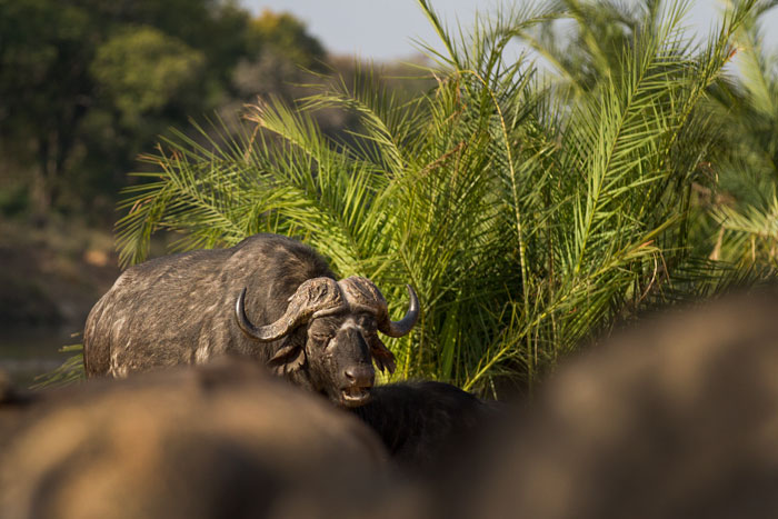 A buffalo bull moves through  his herd on the banks of the Sand River.
