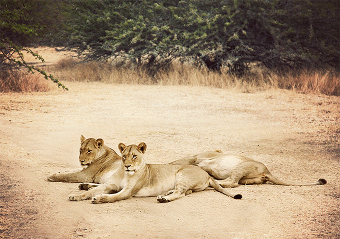 Lionessess-MASTER-2-615