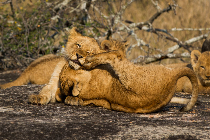 Two of the Munghen cubs in high spirits near the Manyelethi Riverbed.
