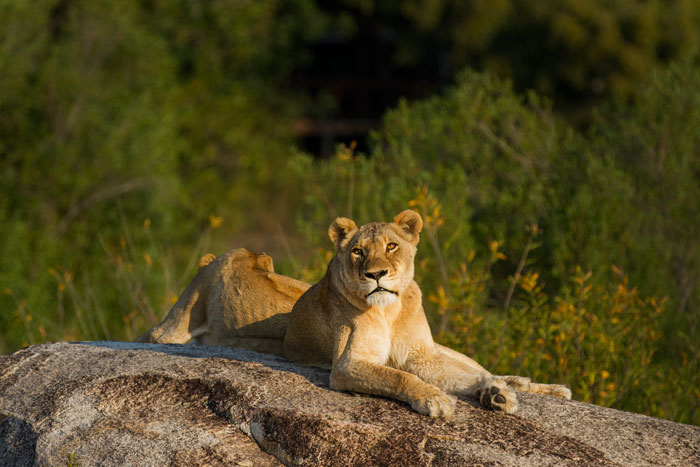 The same lioness from a different angle. Tree Camp is in the background on the Southern Bank of the Sand River