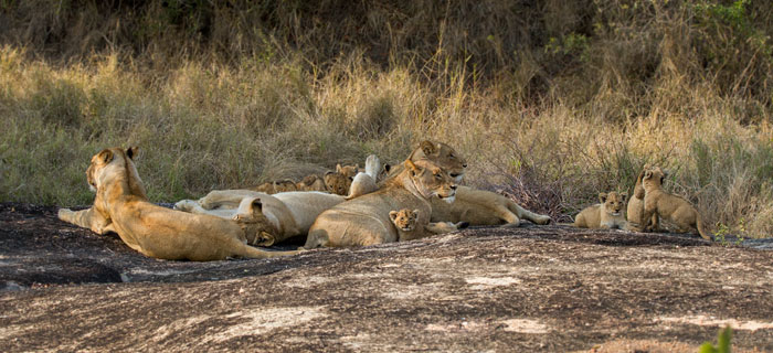 Everyone's new favourite pride, the four Munghen lionesses and their 9 tiny cubs head into the shade for the morning.