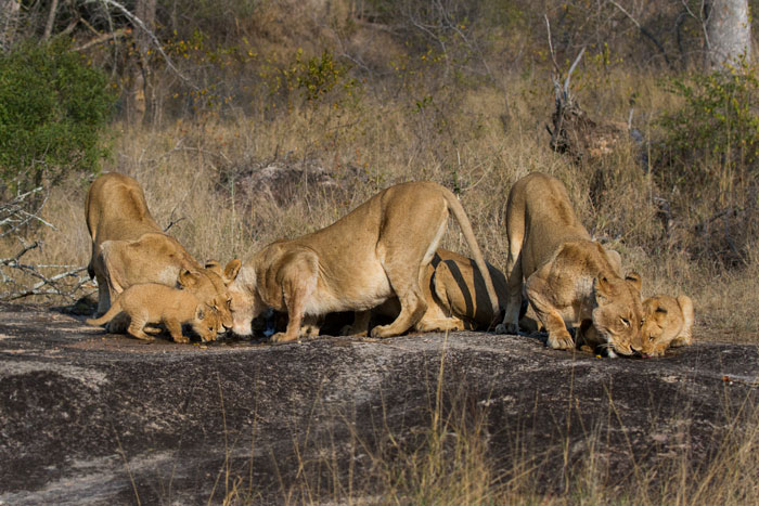 It's hard to believe there are 13 lions drinking in this photograph. Most of the little cubs are hidden behind the adult lionesses. The Munghen pride quenches their thirst the day after they had moved off a Zebra kill on our Northern boundary.