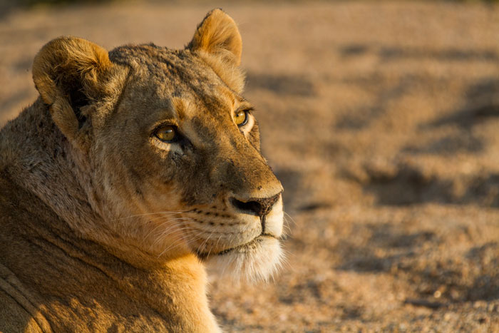 Evening light hits the tailed Tsalala lioness as she lies in the bed of the Sand River.