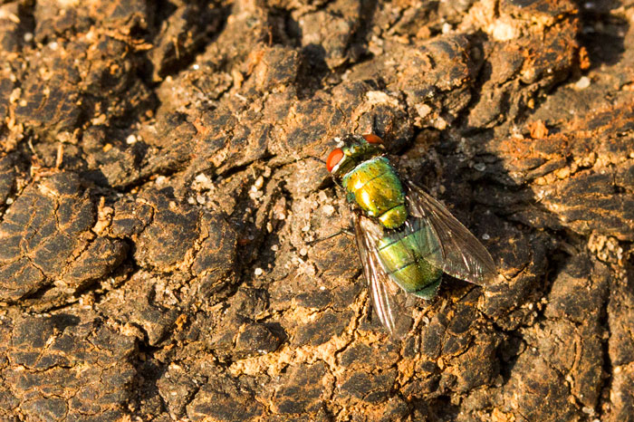 There is an amazing world of smaller beings right under our noses. Flies, wasps, butterflies and countless others are going about their daily lives, mostly overlooked. This bottle-green fly was investigating the carcass of a wildebeest and is seen here perched on its horns. We are not sure of the exact cause of death to the wildebeest, but it was not a large predator, as the carcass was untouched.
