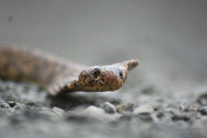 A Cape Cobra