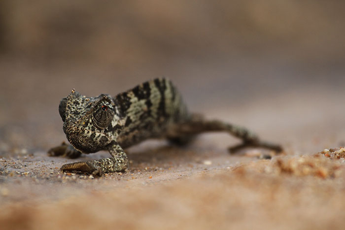 chameleon blog - Chameleons will display the very darks tones when stressed, agitated or in an attempt to absorb some of the sun's heat on a cold morning. These striations and dark coat probably indic...