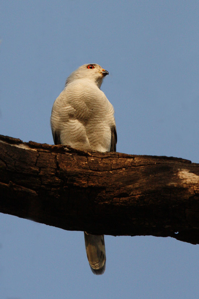 The Accipiter group of birds comes from the family Accipitridae, many of which are named as Goshawks and Sparrowhawks. This specimen was seen in the Londolozi Camp one morning. Any guesses as to which species it is?