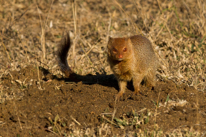 A rare photograph of a slender mongoose standing still. Most of the time these shy, solitary animals are only briefly glimpsed as they dart across the road.