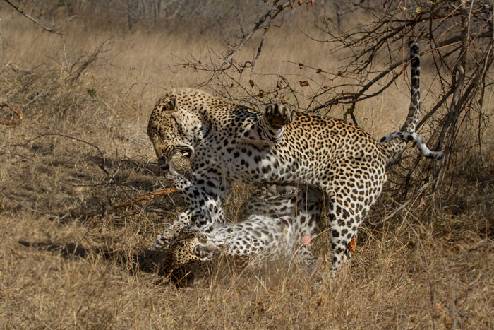 This was a particularly aggressive mating bout, as both leopards swatted violently at each other. Here the male closes his eyes tightly to avoid damage from the Xidulu female's outstretched claws at his nose-tip.