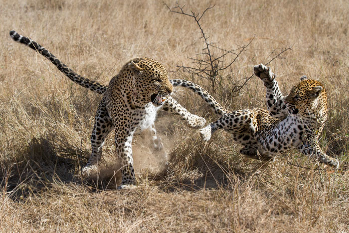 A dramatic end to a mating bout as the Xidulu female leaps away from the Marthly male, all four paws off the ground.