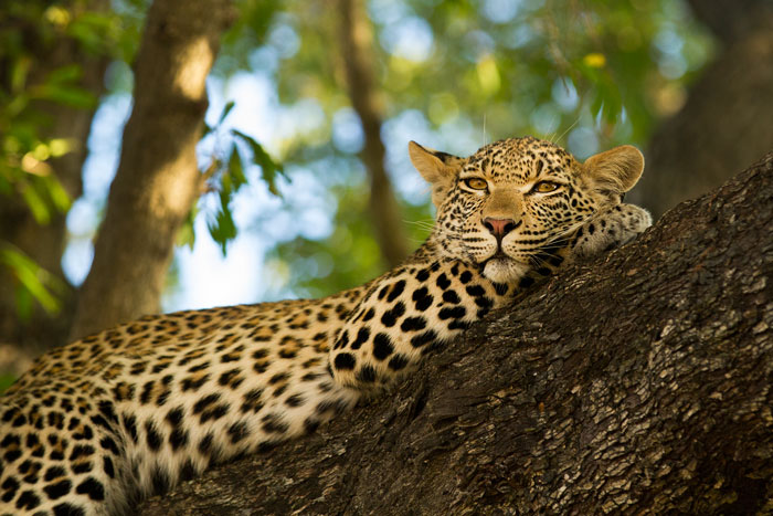 The cub of the Mashaba female waits patiently in the boughs of a Jackalberry for her mother to return from the hunt.