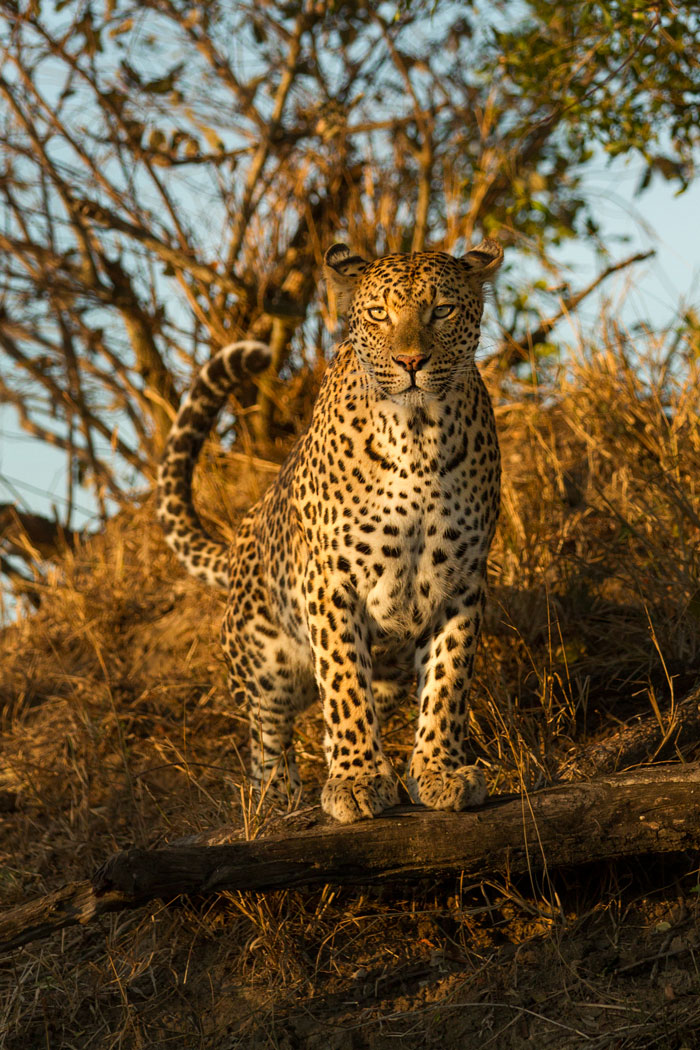 The Mashaba female herself this time, watching a herd of impala from a termite mound on Circuit North crest.