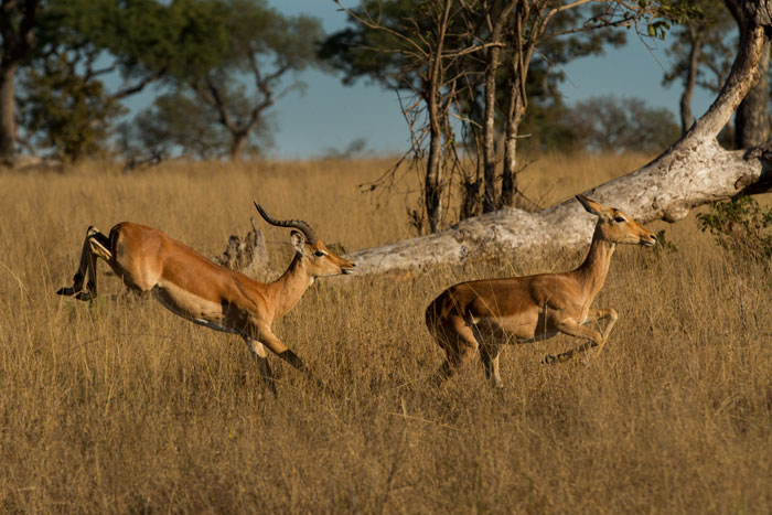 Impala leap across Ximpalapala clearing to rejoin the rest of the herd. Most of the adult females will be pregnant now, and at the end of October/beginning of November the first lambs will be born