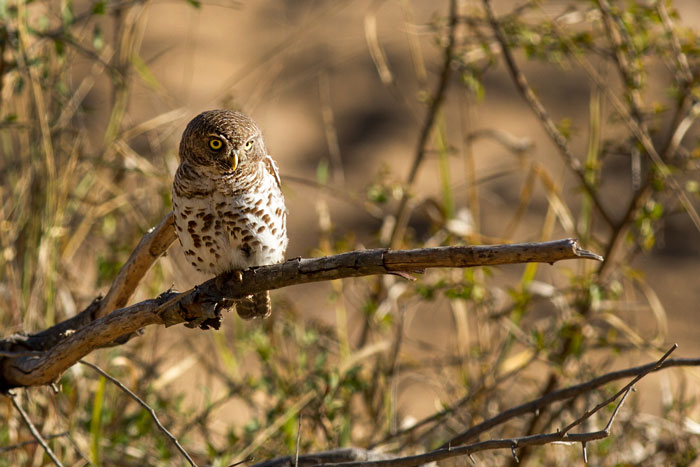 A Barred Owlet on the banks of the Manyelethi riverbed. Heard far more often than seen, these little birds seldom give one such an open view of them.