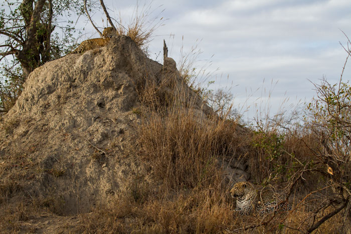 The Marthly male patiently watches the warthog burrow while the Xidulu female watches the sunrise from atop the mound.