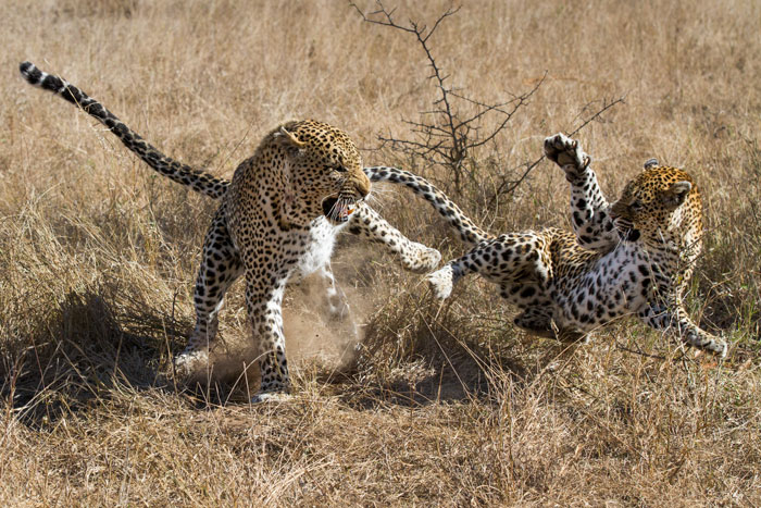 Leopards mating can be a dramatic and aggressive affair.
