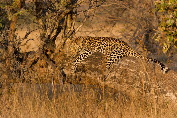 The Ximpalapala young female reclines on a fallen Marula a short distance away from where her impala kill was hoisted. It was the kill hoisted here that led to the incredible sighting of the tree-climbing Tsalala pride...