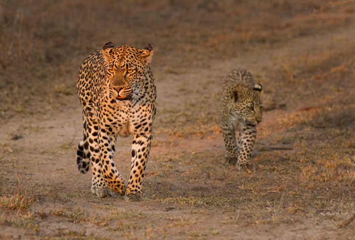 This photo, taken a few ago, is eerily prophetic, in that this morning the Tamboti female was found with only one of her cubs. Hopefully the other one shows up, but we will have to see